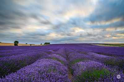 Racing clouds over lavender field