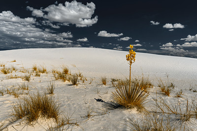 Soaptree Yucca, White Sands National Moniument