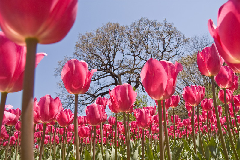 Tulips in Central Park Conservatory