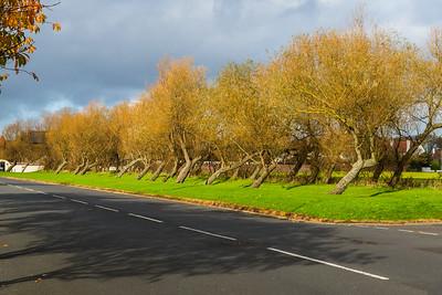 Wierd Looking Laid back Trees in Scotland