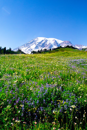 Wildflowers at Mt. Rainer National Park