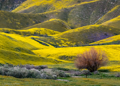 Tembler Mountains During the Super Bloom