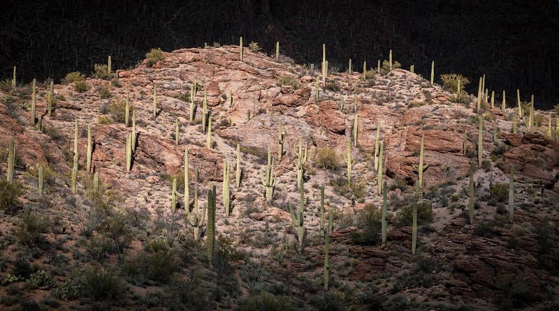 Saguaros Near Tucson