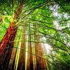 Branches #warburtonsequoias