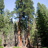Giant Sequoia trees in Mariposa Grove, Yosemite National Park, USA