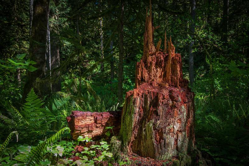 Decaying Stump, Olallie State Park, Washington