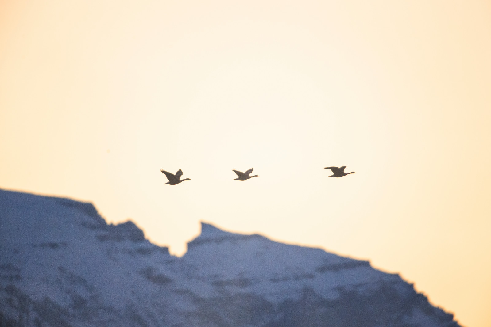 Canadian Geese Fly Over the Sleeping Indian, Jackson Hole, Wyoming