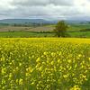 Oilseed Sunflower Field, England
