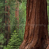 Giant Sequoia Tree and Seedlings