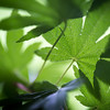 Day #125 - Maple Leaves
