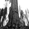 Giant Sequoia.