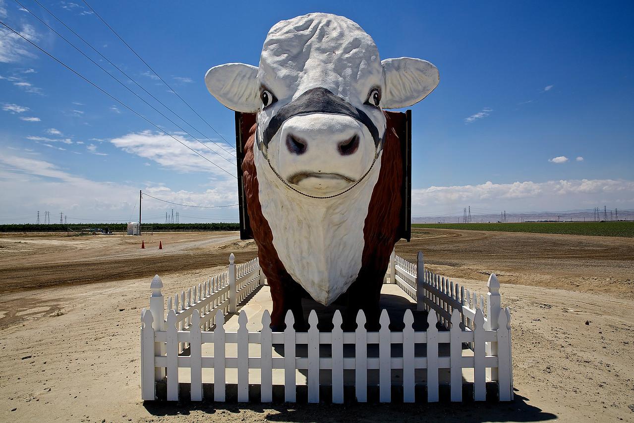 Cow.  Farmington, California.