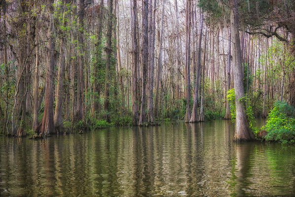 Beauty and resilience line the canals of Florida's flooded forests.