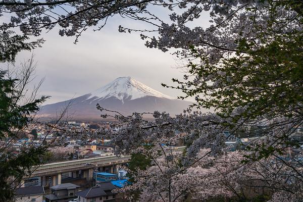 Sakura-Lined Fuji
