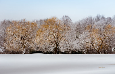 The Snow Willows
