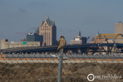 Urban Kestrel