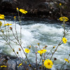 Yellow Blossoms Along the Merced River