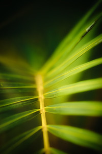Palm Leaf - Mexico