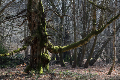 Old Birch in Savernake Forest