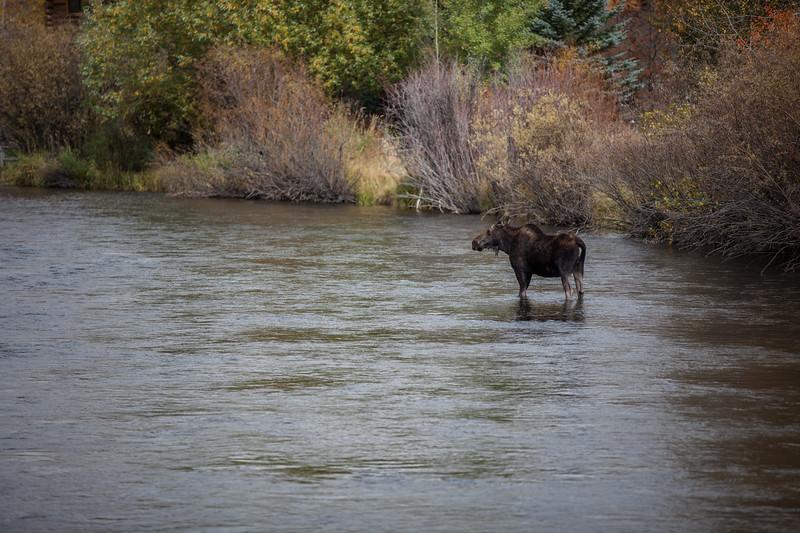 Moose in Snake River