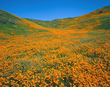 Poppy Fields, Lake Elsinore, Ca