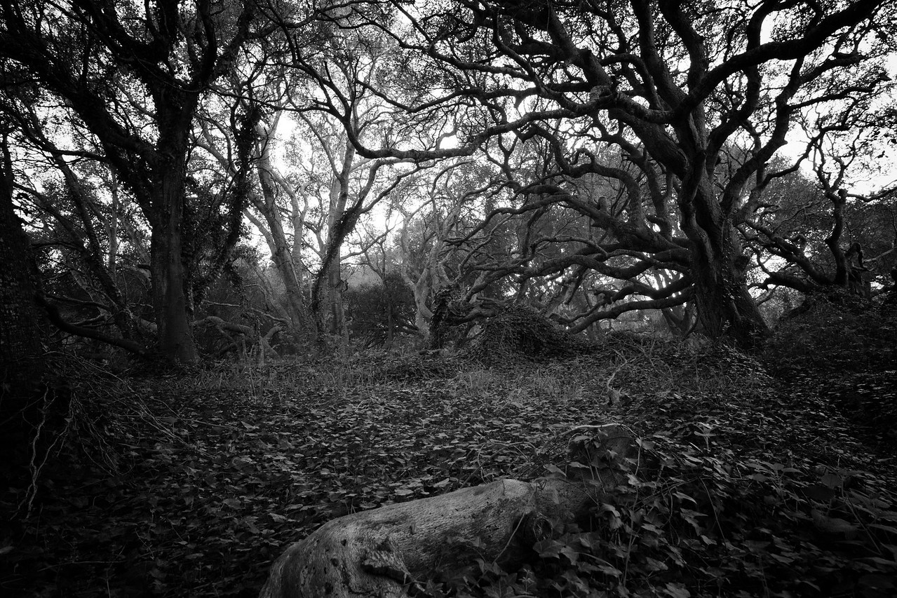 Mysterious Oaks
