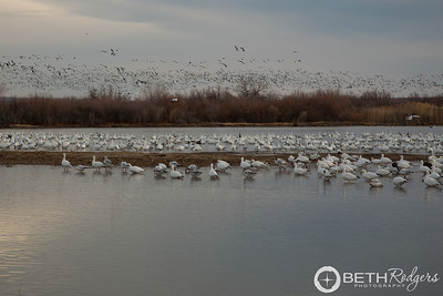 Winter Flyout at Bosque del Apache1