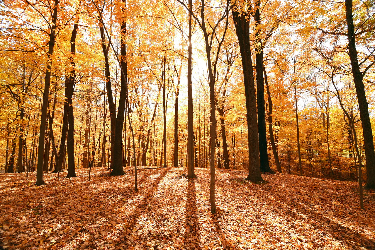 Fall Maple Forest