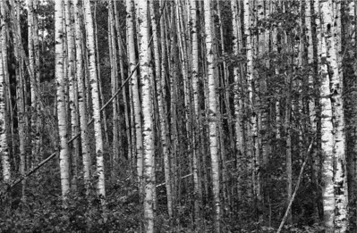 Northwoods Birch