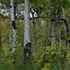 A Stand of Aspens in Maskinonge