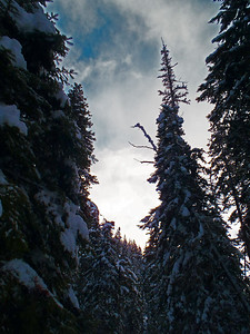 Snow clinging to trees near White Pass in Washington