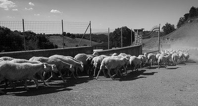 Sheep, Sant'Oreste, Italy