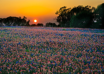 Sunset over Bluebonnet field