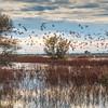 Sacramento Wildlife Refuge Snow Geese 2515