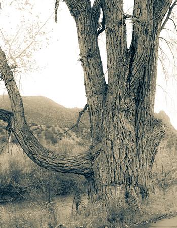 Old Elm