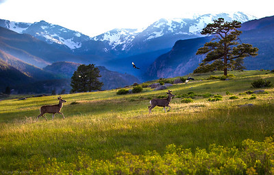 2 young elk and 3 magpies crossing Moraine meadow in the light of the setting sun. Colorado.