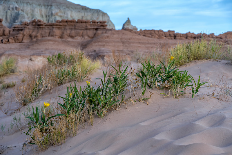 Yellow wildflowers growing in the sand in Goblin Valley State Park near Hanksville, Utah