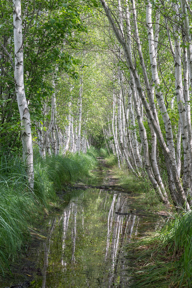 Trail of Birch Trees