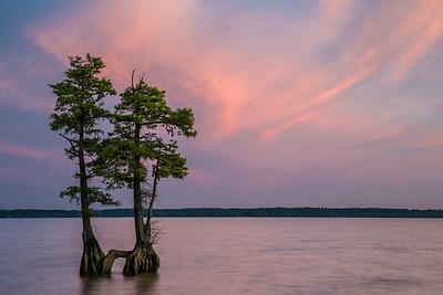 Bald Cypress, James River Virginia