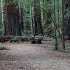 Bench among Redwoods