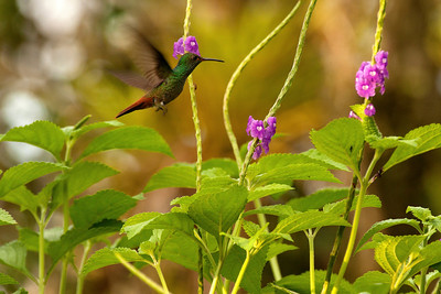 Flying Hummer - Costa Rica