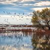 Sacramento Wildlife Refuge Snow Geese 2491