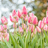 Pastel Pink & White Tulips at Brookgreen Gardens, Murrells Inlet, SC