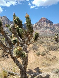 Red Rock Canyon Cactus