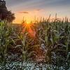Evening Maize