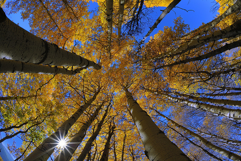 Fall Aspens, Grand Teton National Park, Wyoming