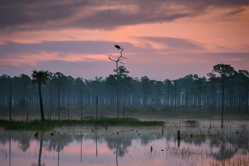 Bald eagle coming in for a landing on a snag in the marsh just before sunrise at Babcock Wildlife Management Area near Punta Gorda