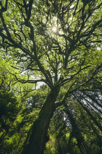 Oregon Big Tree