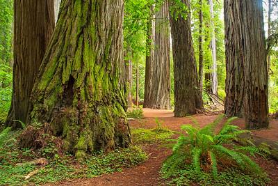 Jedediah Smith Redwoods State Park, California