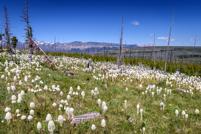 Beargrass (Xerophyllum tenax) in abundance this year in Glacier National Park, Montana